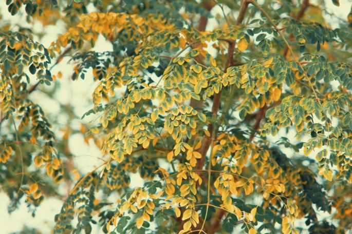 low angle photo of moringa oleifera